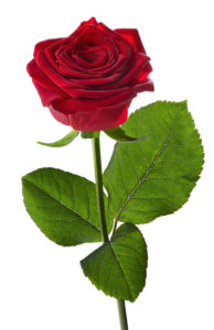 Beautifull red rose with stem still attachted standing straight up