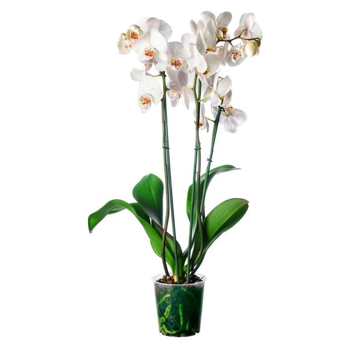 Pianta Phalaenopsis bianca