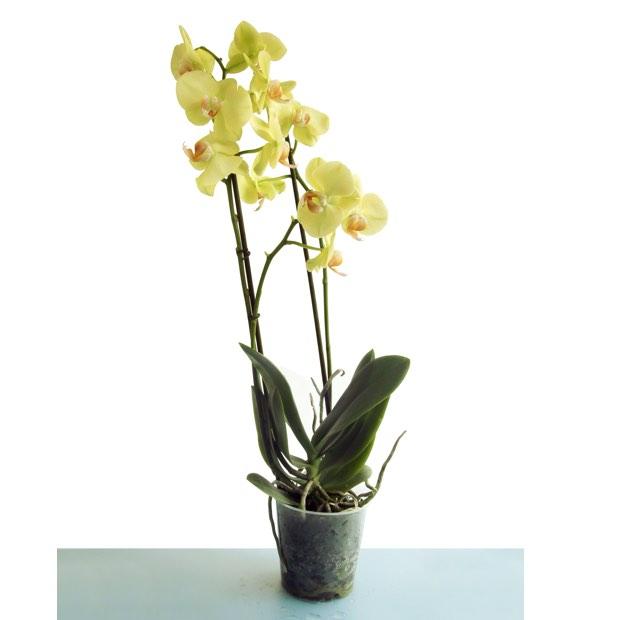 Efiorista online in italia ti aiuta a consegnare o for Orchidea pianta