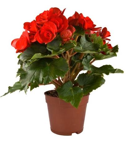 Efiorista online in italia ti aiuta a regalare e for Begonia pianta